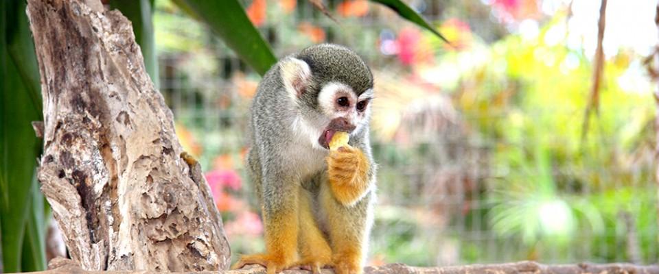 Резидент питомника Monkey Park